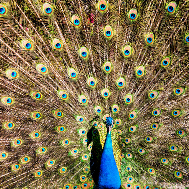 Peacock at Limonos